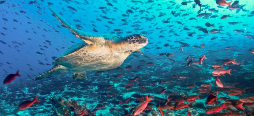turtle-fish-underwater-galapagos-islands