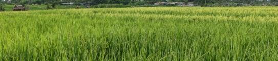 rice-field-infonesia