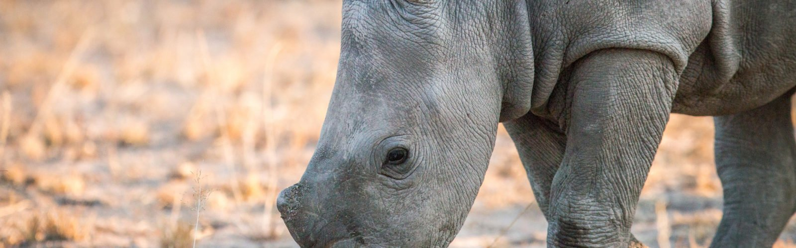 white-rhino-kruger-national-park-south-africa