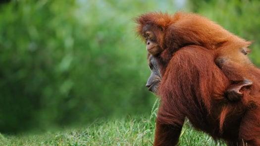 orangutans-borneo