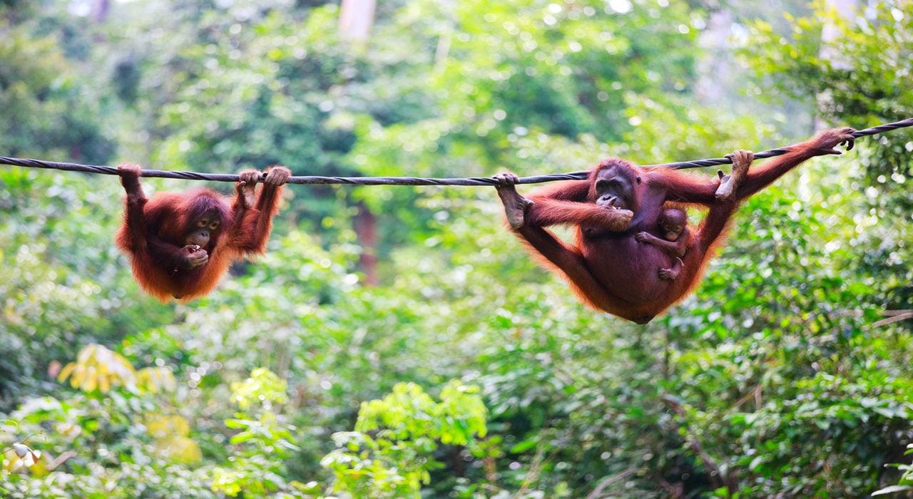 orangutans-sabah-malaysia-borneo