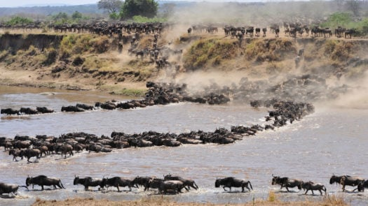 Wildebeest river crossing, the Great Migration, Serengeti, Tanzania