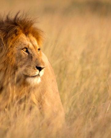 Lions on Kenya Safari