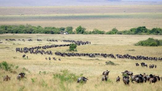 wildebeest-great-migration-kenya