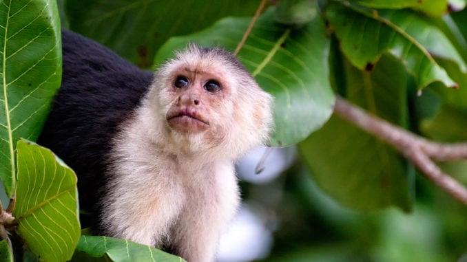 cebus-monkey-costa-rica