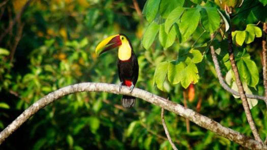 toucan-dominical-costa-rica