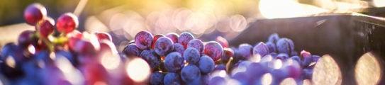 grapes-wine-region