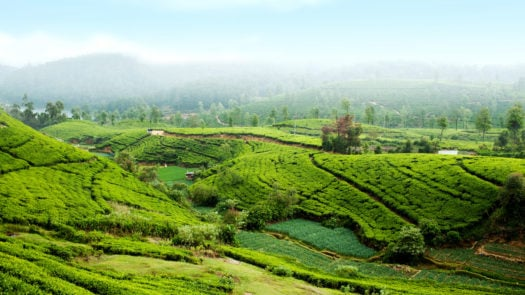 tea-plantation-nurawa-eliya-sri-lanka