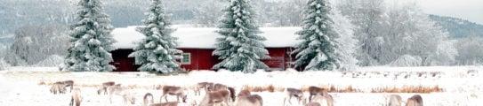 snow-reindeer-winter-landscape-swedish-lapland