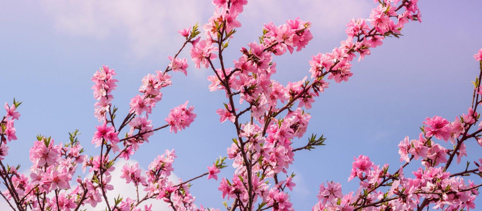 sakura-cherry-blossom-seoul