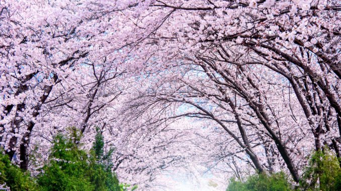 cherry-blossom-jinhae-gunhangje-seoul