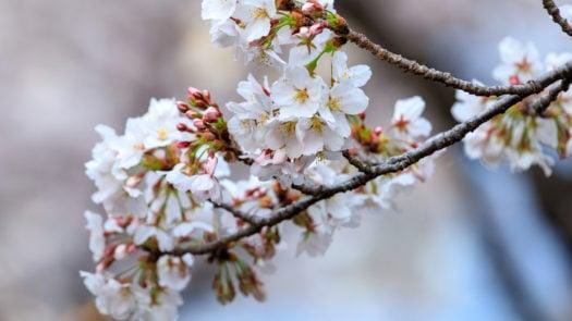 seoul-cherry-blossom-sakura-season