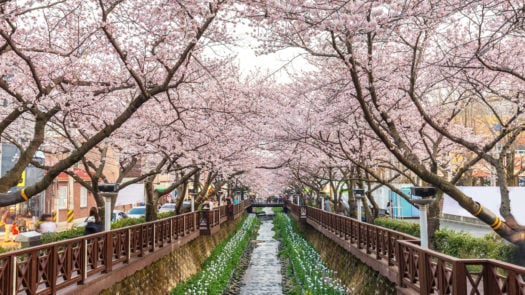 spring-cherry-blossom-sakura-south-korea