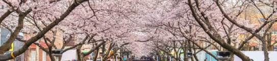 spring-cherry-blossom-sakura-south-korea