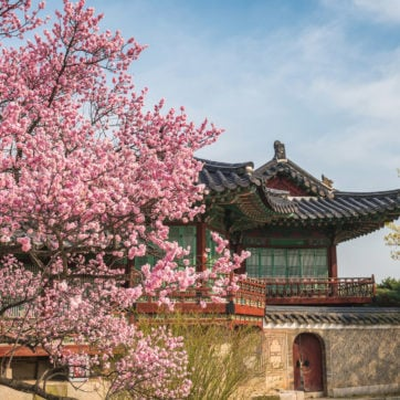 spring-cherry-blossom-seoul-south-korea