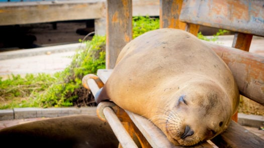 A sea lion lounges on a bench, San Cristobal harbour, The Galapagos Islands
