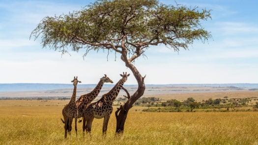maasai-mara-giraffe-kenya