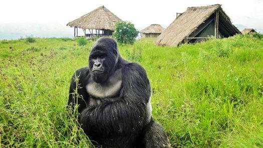 Ape, Bukima Camp, Democratic Republic of the Congo, Africa