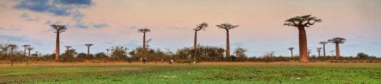 baobab-madagascar-africa