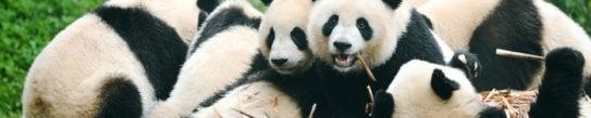 giant-panda-eating-bamboo-chengdu