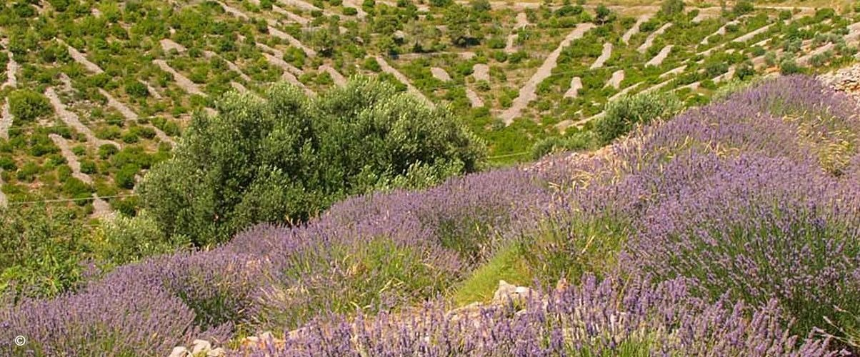 Lavender fields in the countryside.