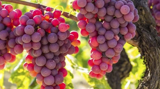 rioja-grapes-spain