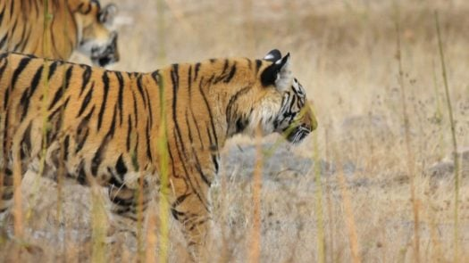 tiger-in-ranthambore-india