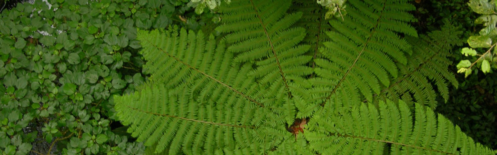 costa-rica-cloud-forest-fern