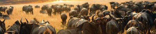 wildebeest-maasai-mara-kenya