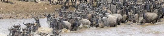 masai-mara-wildebeest-crossing