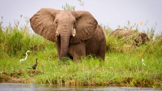 Lower Zambezi elephant, Zimbabwe, Africa